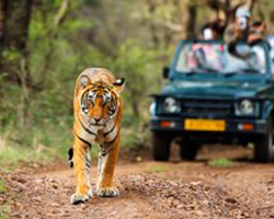 Tiger Safari in North India